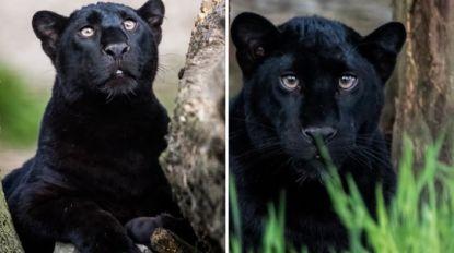 """Verzin een naam voor de nieuwe panters van Pakawi Park: """"Door corona onverwacht in onze zoo"""""""
