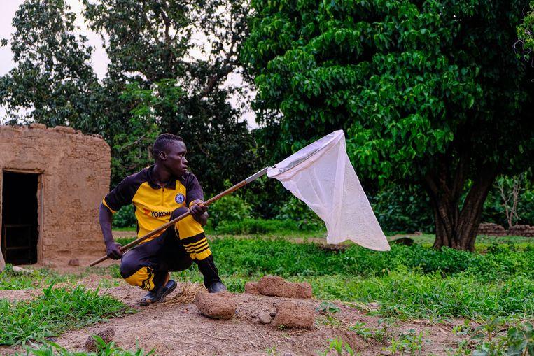 Target Malaria huurt groepen jonge mannen in, die tijdens de schemering met netten het dorp ingaan om muggen te vangen. Beeld Joost Bastmeijer