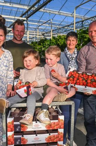 Nergens is het klimaat beter voor een aardbei dan bij ons: het geheim achter de Hoogstraatse aardbeien