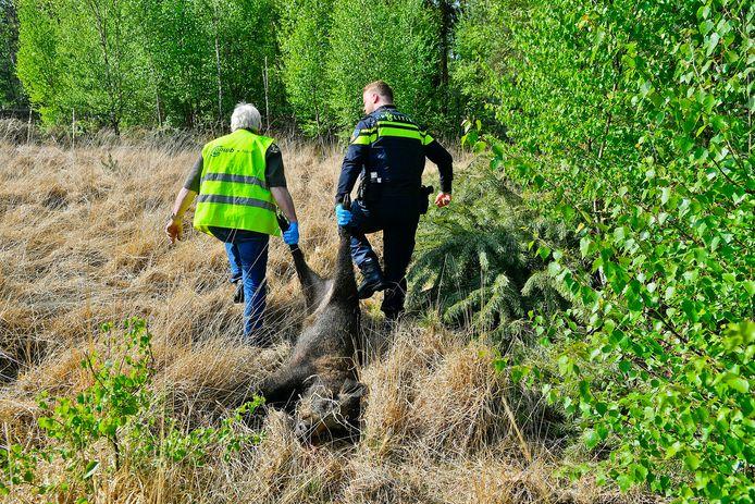 Het gewonde everzwijn werd door een jager uit zijn lijden verlost.