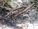Jager-verzamelaars haalden hun zetmeel uit ondergrondse plantendelen, zoals wortelstokken, knollen en bollen. Wortelstokken van lisdodde konden in de as van een houtvuur worden geroosterd.