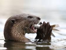 Na halve eeuw weer otter geboren in oudste natuurgebied van Nederland: 'Kers op de taart'