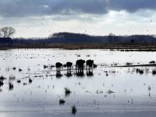 Hoog water in aantocht, dus de waterbuffels gaan aan de wandel