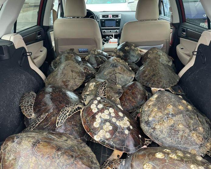 De gepensioneerde McLellan reist iedere winter van haar woonplaats in South Carolina naar het eiland South Padre in Texas om vrijwilligerswerk te doen bij een schildpaddenopvang.
