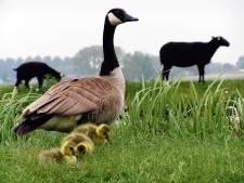 Agrariërs vragen om radicaal terugdringen van ganzenpopulatie: 'Schijtende ganzen zijn echte boosdoener van stikstofprobleem'