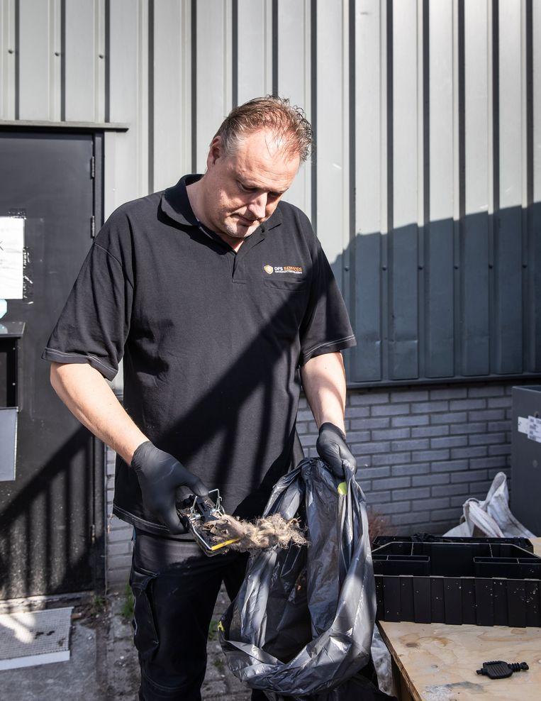 Ongediertebestrijder Elroy Kerklaan verwijdert de resten van een rat die hij aantrof in een van de klemmen.  Beeld Dingena Mol