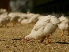 Ook Plus geeft kippen beter leven: 'Ze kunnen weer een beetje meer kip zijn'