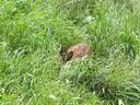 Deze ree verstopt zich in het hoge gras langs de dijk.
