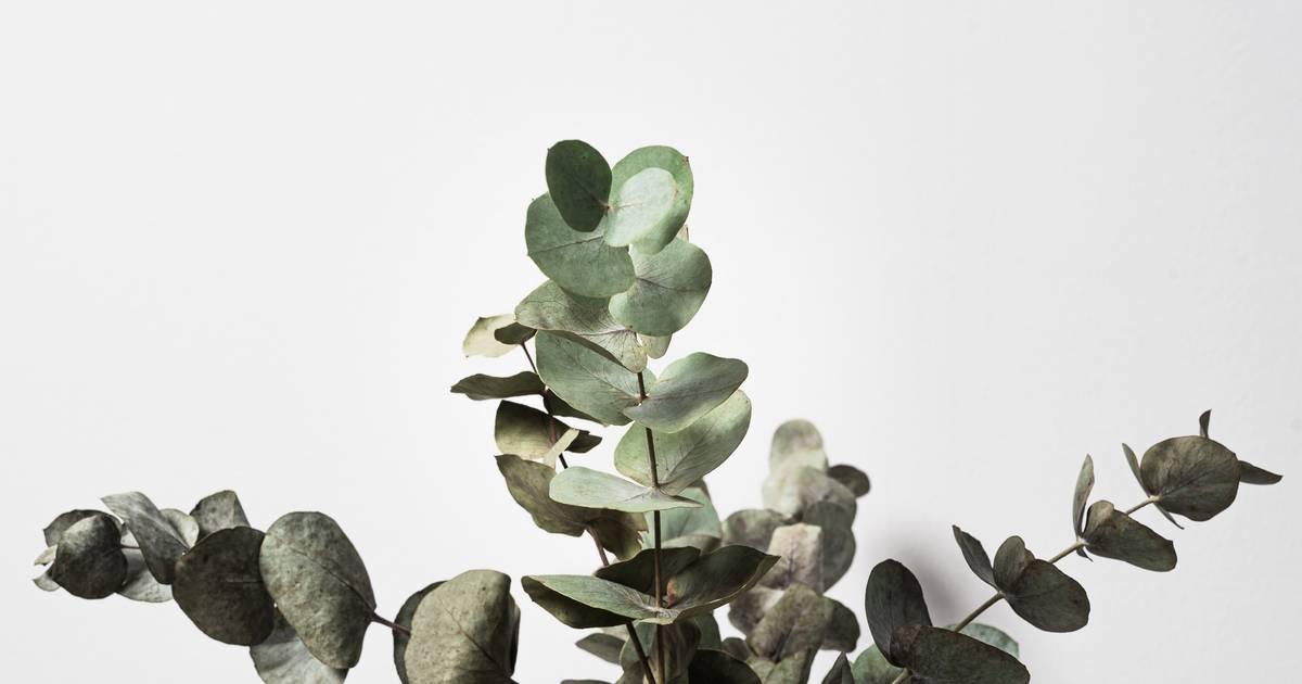 Dit Is Waarom Het Een Goed Idee Is Om Eucalyptustakken In Je Douche Te Hangen Fit Gezond Hln Be