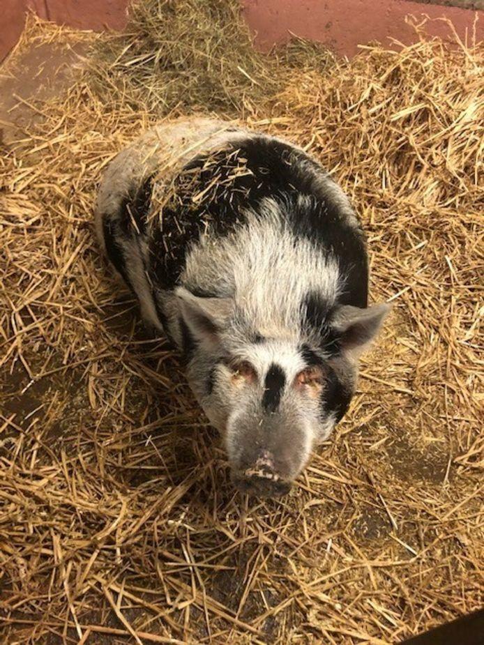 Babette, het hangbuikzwijn dat een nieuwe thuis zoekt.