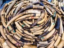 Partij van 118 slagtanden in beslag genomen in Kameroen, smokkelaars opgepakt