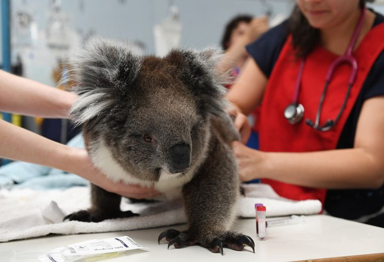 Een koala wordt