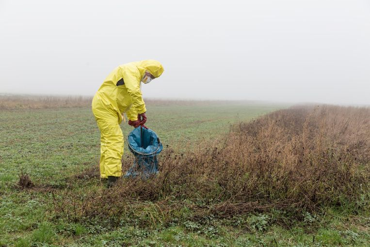 De dode vogels op Texel worden door de gemeente, het hoogheemraadschap en Natuurmonumenten geruimd. 'Als zo'n kadaver op ontploffen staat, zit je onder het bloed.' Beeld Sjaak Verboom