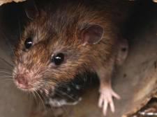 Rat veroorzaakt opnieuw grote stroomstoring in Flevoland