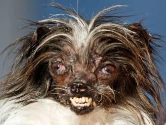 Peanut is lelijkste hond ter wereld