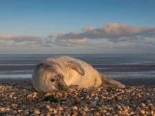 Honden bijten jong zeehondje dood bij Zeeuwse Neeltje Jans