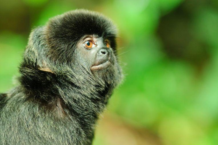 Een springtamarin of Goeldi's marmoset.