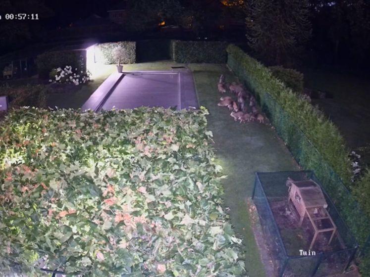 Bewakingscamera filmt hoe groep everzwijnen tuin bezoek brengt