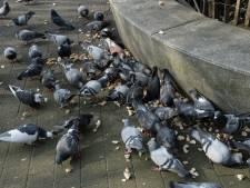 Les pigeons perdent leurs pattes à cause de nos... cheveux