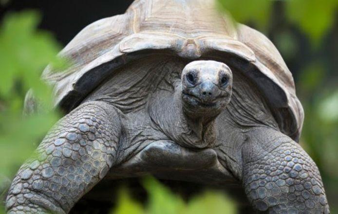 Een reuzenschildpad.