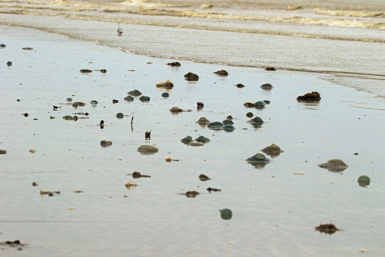 Het strand ligt bezaaid met boelkoolkwallen met een diameter van ongeveer dertig centimeter
