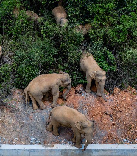 Ontsnapte olifanten laten spoor van vernieling achter in China: schade gaat richting miljoen