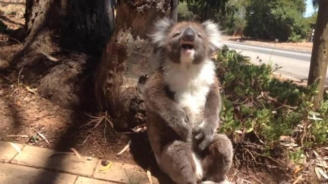 Deze kleine koala ondervindt hoe oneerlijk het leven kan zijn