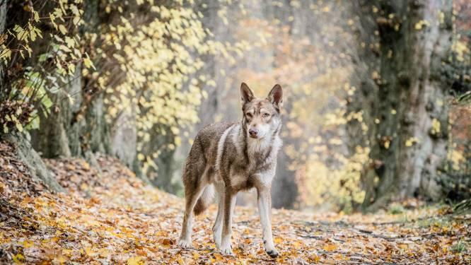 Waarnemingen van nieuwe wolf in buurt Kalmthoutse Heide vertroebeld door... loslopende wolfhonden