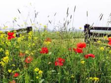 Hommels, bijen en hoog gras: politiek Geldrop-Mierlo wil ze op de agenda
