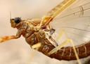 Het tere lijfje van de eendagsvlieg.