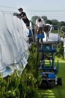 Nieuwe aquadoek beschermt kersen tegen alle onheil