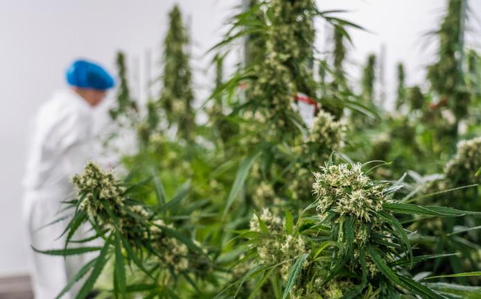 De verwerking van wietplanten tot medicinale cannabis