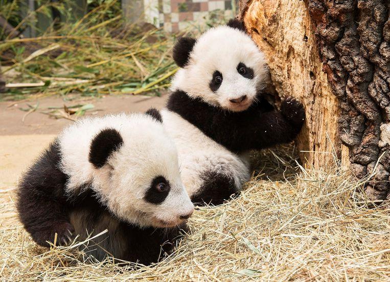 2.000 reuzenpanda's zijn er nu, de soort is niet langer bedreigd. Beeld REUTERS