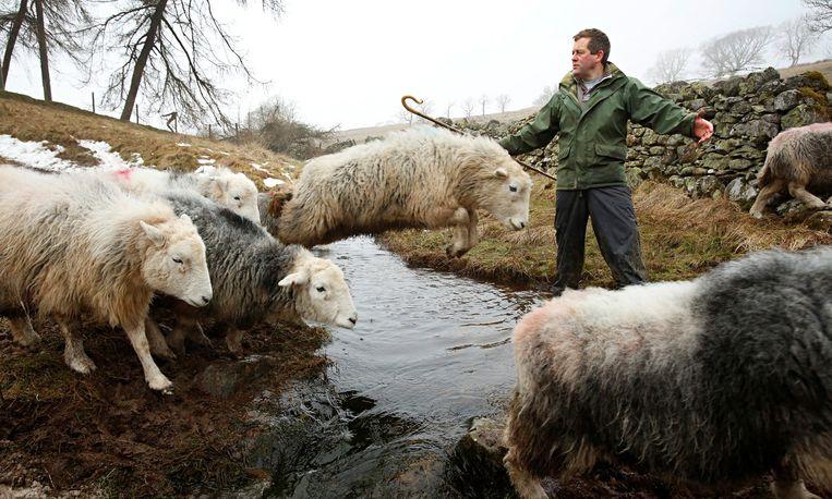 James Rebanks met zijn schapen in Lake District. 'Ik denk dat de thema's universeel zijn' Beeld Murdo McLeod