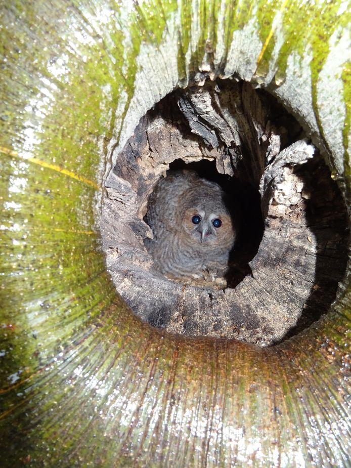 Het nest met uilenjong in Knegsel.