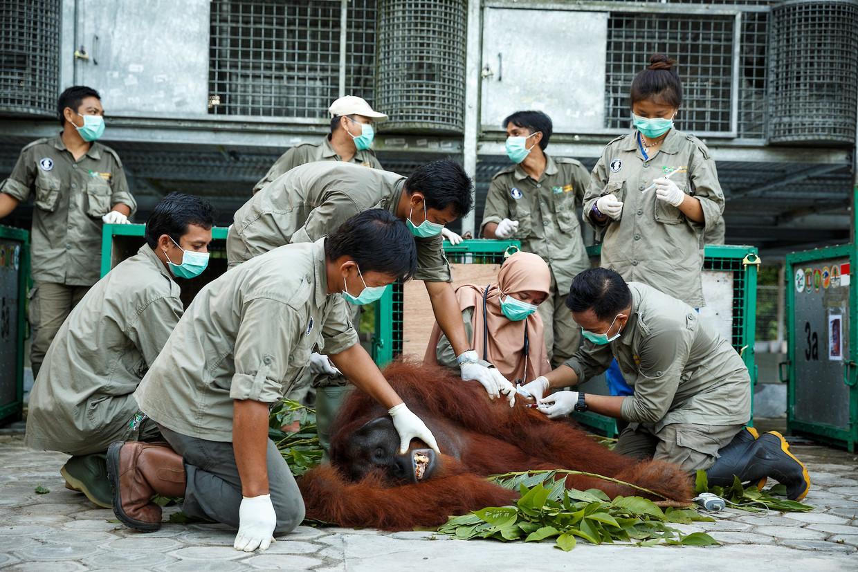 Een team onderzoekt orang-oetang Kato in een reddingscentrum in Borneo, Indonesië.  Beeld In Pictures via Getty Images