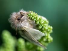 Eikenprocessievlinder heeft een paar dagen om de kiem te leggen voor de volgende plaag