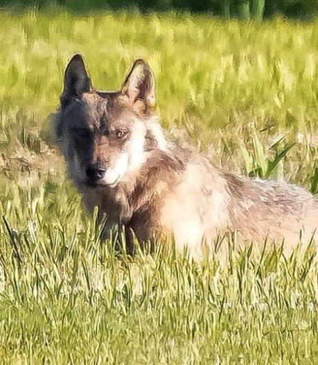 Brabantse wolf is zwerver uit Duitsland
