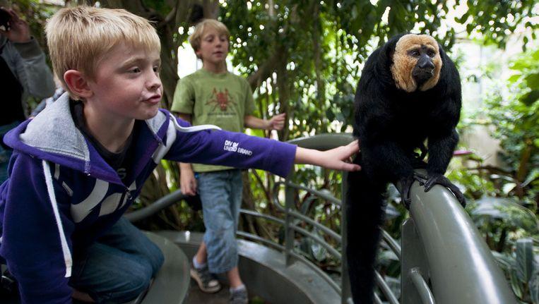 Kinderen staan in Dierenpark Emmen oog in oog met een aapje. © ANP Beeld