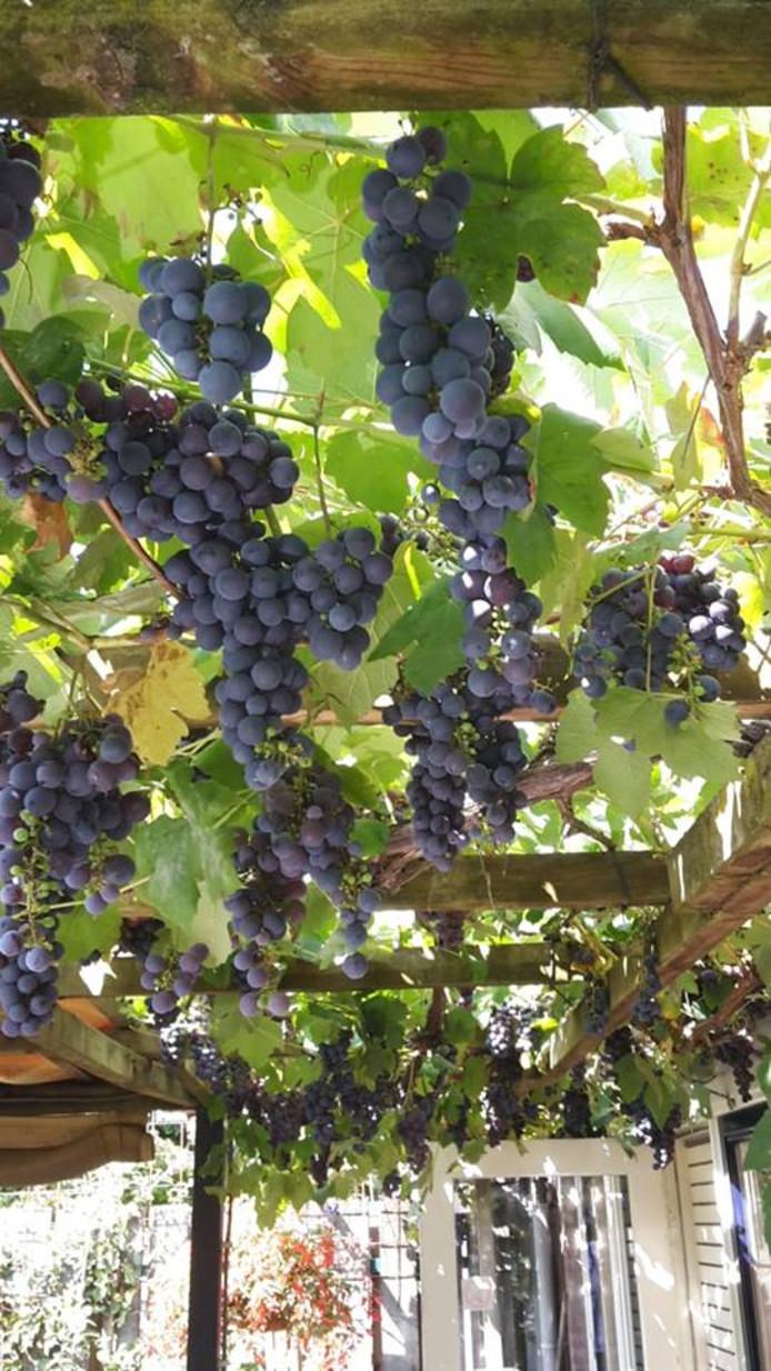 Moergestelnaar Leo Boogaers heeft druiven te over.