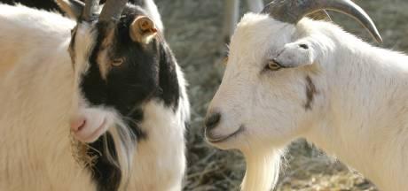 Meierijstad: wonen bij geiten mag nu wel