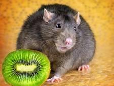 Bang voor ratten? Nu niet meer