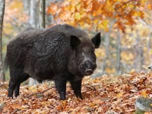 Oost-Brabantse varkenshouders vrezen met grote vreze: Afrikaanse varkenspest blijft rondgaan in Duitsland en Polen