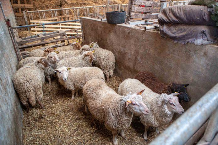 Enkele schapen die op de boerderij leefden.