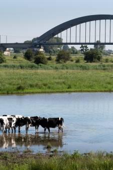 Koeien zoeken al eeuwen verkoeling, ook anno 2021