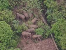 Les éléphants en vadrouille en Chine attendent le retardataire laissé à 14km