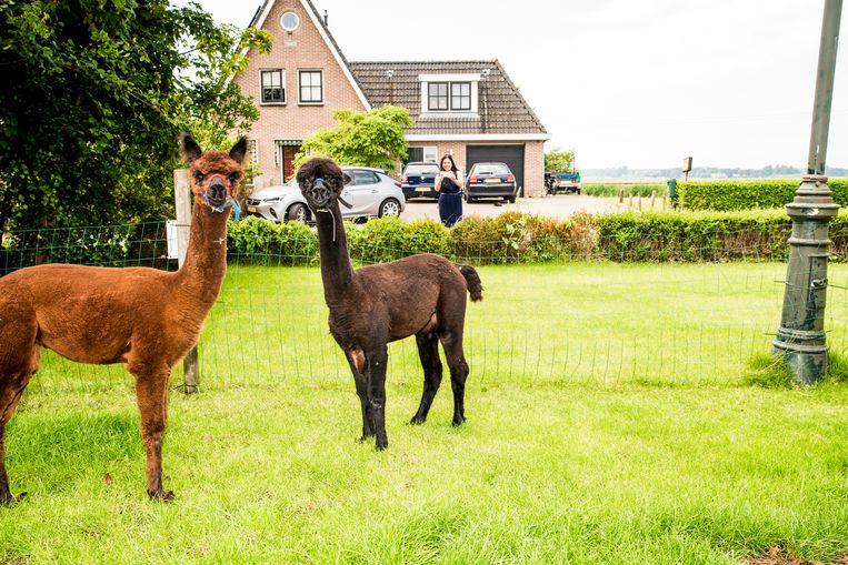 Alpaca's van Lisa en Peter en Fenna Dirkson. Beeld Jan Mulders