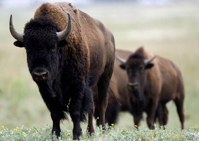 Amerikaanse bizons in de Rocky Mountains.