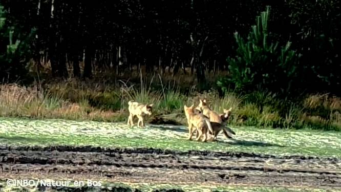 """Geen spoor van Limburgse wolf: """"Vergiftiging is een optie"""""""
