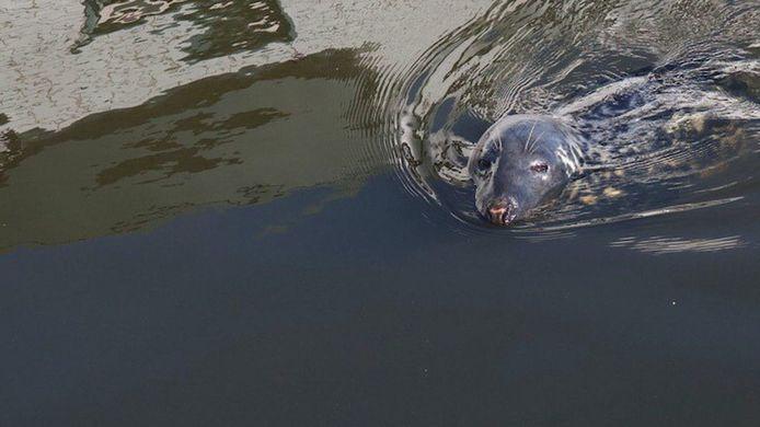 Zeehond in het Zwarte Water bij Zwolle.